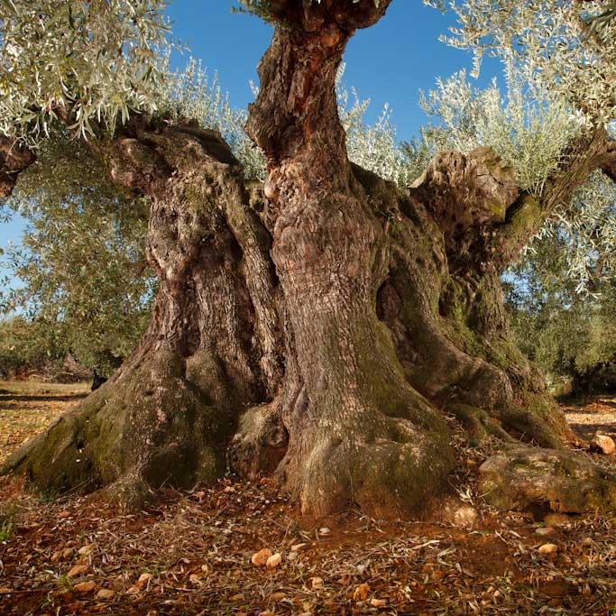 """Etern"" natives Olivenöl extra von 1000 jährigen Bäumen"