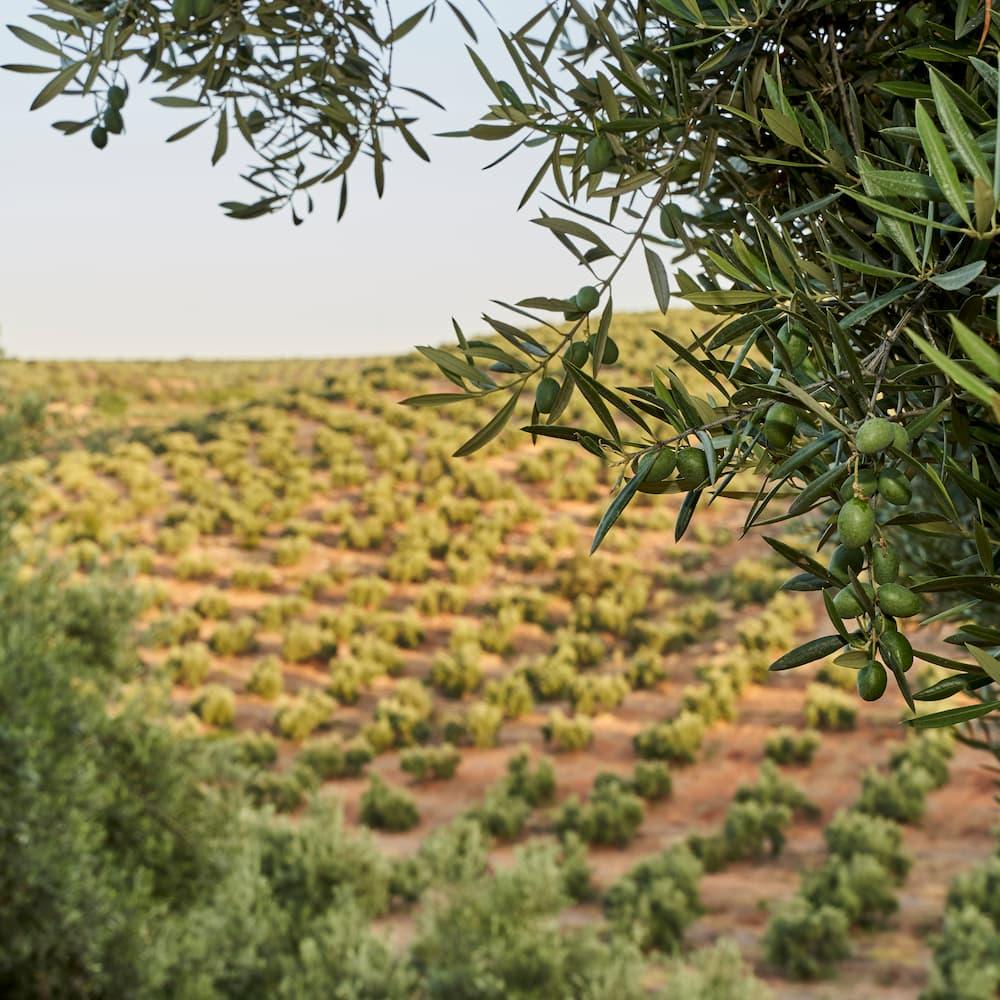"""""""Romeo Verde"""" natives Olivenöl extra - Spanien"""
